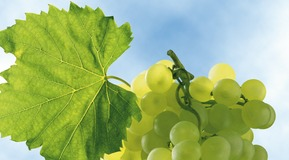 Wine grapes with green leaf, view against sky.